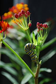 Monarch cat on butterfly weed