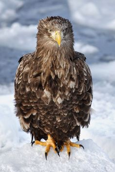 0ce4n-g0d:  White Tailed Eagle Standing on Ice | pics721