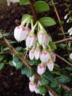 Agapetes or Vaccinium sp. SEH#25066