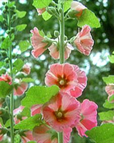 Excited for my hollyhocks to bloom this year after starting them from seed last year.
