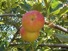 It's Apple Harvest Time! We have a wonderful organic Pippin apple tree. Apple Harvest, Harvest Time, Craft Organization, Organizing, Apple Tree, Topiary, Homestead, Upcycle, Craft Supplies