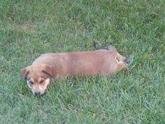 My Labrador Retriever x Australian Shepherd