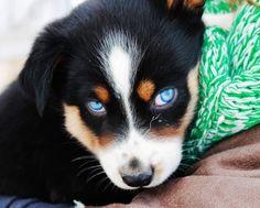 My Australian Shepherd/Husky <3 Barkley