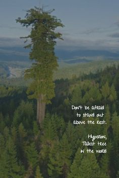 "Don't be afraid to stand out above the rest. Hyperion, Tallest tree in the world, an inspiration for Tall Tree, a pivotal character in ""Misho of the Mountain"" http://dldiehl.com/"