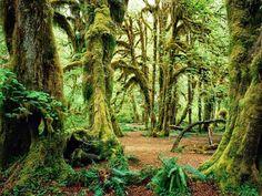 Hall of Mosses, Olympic National Park, Washington, USA