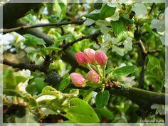 Frühlingssonntag und Apfelblüte
