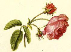 elle_belle   Alexander Marshall's botanical illustrations