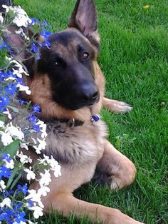 Chance...German Shepherd