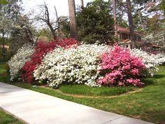 azaleas in the spring