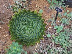 spirals in nature - sf botanical garden