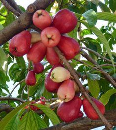 Jamaican Apples (Syzygium malaccensis): Syzygium malaccense L.O, popularmente conhecido como jambeiro, jambo-rosa e jambo-vermelho, é uma espécie da família Myrtaceae, a qual também inclui espécies como a goiabeira, a pitangueira, o jamelão, a jabuticaba e o eucalipto.