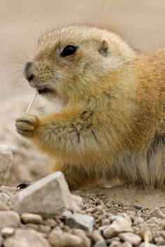 PRAIRIE DOG – Image by Florence McGinn – Fun and learning for all ages at the Arizona-Sonora Desert Museum –Learn more at http://www.examiner.com/article/go-photograph-at-arizona-sonora-desert-museum
