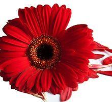 Single Red Dhalia by elainemarie999
