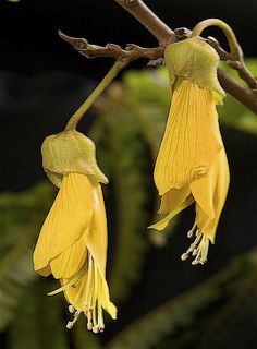 new zealand native plants Strange Flowers, Rare Flowers, Exotic Flowers, Tropical Flowers, Beautiful Flowers, New Zealand Wildlife, Native Drawings, Tropical Garden Design, New Zealand Art