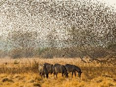 This is an impressive picture! #Grasshoppers and #zebras... kidding: #birds and zebras! :) #Africa
