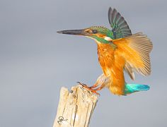 king fisher 7 - by Hani Al Mawash