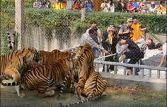 Besides maybe help feeding the sea lions or the elephants, the level of participation in most zoos isn't that high. This is not the case in Busch Gardens in Tampa Bay, Florida, though –  here visitors are invited to test their strenght against tigers in a tug-of-war match.