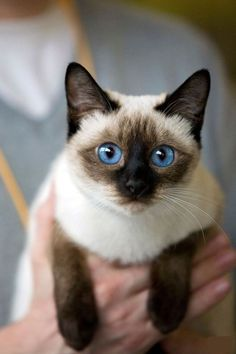 Siamese - so beautiful. Her father was Siamese and the mother Burmese. The Siamese & Burmese Breed is called 'Tonkinese'. My Tonkinese is now ~ Siamese Kittens, Cute Cats And Kittens, Cool Cats, Kittens Cutest, Tabby Cats, Pretty Cats, Beautiful Cats, Animals Beautiful, Cute Animals