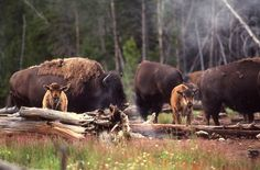 buffalo, Yellowstone National Park - look at the little ones!!