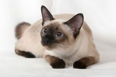 Catshirt Siamese Cats With You In This Photo Gallery Siamese Cats Are Cat Species Taylan Is Based On In 2020 Siamese Cats Blue Point Siamese Cats Best Cat Breeds
