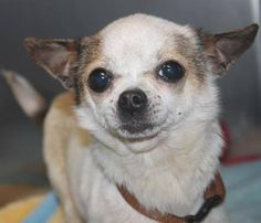 NAME: Anastasia ANIMAL ID: 35455915 BREED: Chi SEX: female EST. AGE: 3 yr Est Weight: 4-6 lbs Health: Heartworm test pending Temperament: dog friendly, people friendly ADDITIONAL INFO:RESCUE PULL FEE: $35 Intake date: 5/25 Available: 5/31