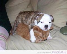 bulldog-sleeping-on-cat