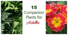 Ferns, hostas and impatiens make great astilbe companion plants. They like the same soil and moisture conditions for a well planned garden bed.