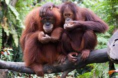 interetsing orangutan facts for kids | orangutan