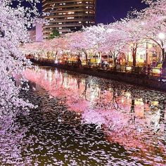 Cherry blossoms & water