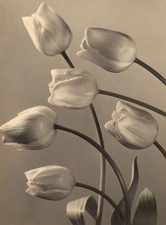 Max Baur - Tulipani, 1930