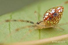 La extraordinaria Araña Espejo, tiene en su abdomen parches reflectivos compuestos de cristales de guanina. Publicado por: @Strange_Animals