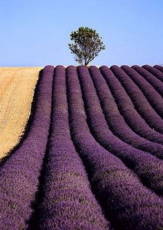 Lavender fields in France> I bet this smells divine. :-) Conservatory, Provence, France Natali in Purple Flower Field christmas p. Beautiful World, Beautiful Places, Amazing Places, Belle Image Nature, Color Lavanda, Valensole, Best Honeymoon, Honeymoon Ideas, Honeymoon Destinations