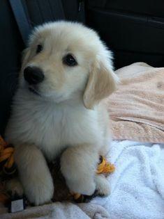 Bailey the Golden Retriever More