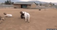 This goat playing a prank on his goat friend.