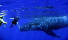 Free diving with Humpback Whales in Rurutu.