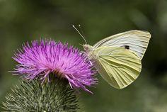 http://500px.com/photo/190563793 Cabbage white butterfly / Pieris rapae by PauleKlein -. Tags: yellowskyflowersspringwaterflowerlighttreesummerbeautifulplantbutterflygreeninsectgardencabbagepieris rapaemedium-sized butterfly