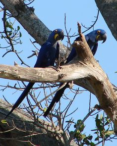 Macaws+in+the+Wild | Hyacinth Macaws in the wild | Flickr - Photo Sharing!