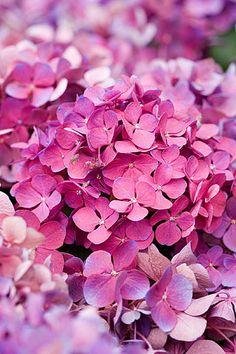 hydrangea pink <3