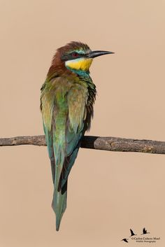 Young European bee-eater (Merops apiaster) by Carlos Cubero on 500px