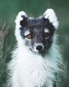 Iceland's only native mammal the Arctic Fox. Photo by @justcallmebenni