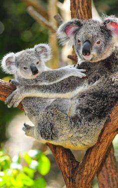 Koala Mutter mit ihrem Kind in Australien