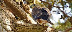 Πιερία: Ναύπλιο: Γεράκια έφτιαξαν τις φωλιές τους μέσα στη... Bald Eagle, Bird, Animals, Animales, Animaux, Birds, Animal, Animais
