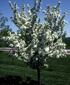 Red Jewel Crabapple~ Medium-sized, horizontally branched, rounded plant with dark green foliage. Fruit is inch bright cherry red and persists with color until mid-December. Trees And Shrubs, Trees To Plant, Permaculture, Backyard Plan, Farm Nursery, Garden On A Hill, Red Jewel, Palmiers