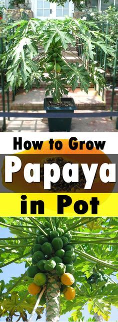 Growing papaya is perfect for gardeners who like to grow easy to grow fruit trees. Papaya tree care is simple, it is low maintenance and productive. Growing papaya is perfect for Fruit Tree Garden, Garden Trees, Garden Pots, Vegetable Garden, Garden Web, Balcony Garden, Fence Garden, Easy Garden, Growing Fruit Trees
