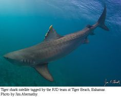Tiger #Shark that has been tagged by researchers.