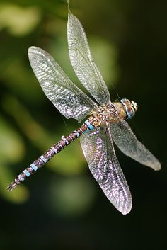 Beautiful photo of a dragonfly in a natural setting. Dragonfly Images, Dragonfly Insect, Dragonfly Tattoo, Flying Insects, Bugs And Insects, Beautiful Bugs, Beautiful Butterflies, Gossamer Wings, Chenille