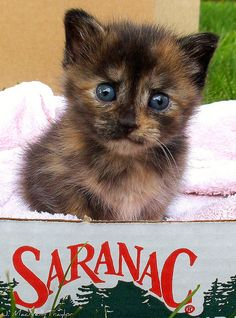 beer box kitten