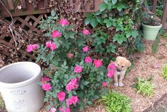 Growing Knock Out Roses!