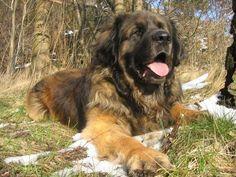 Értékelés a legtöbb bolyhos kutyafajták Leonbergi