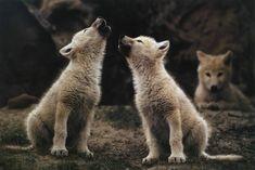White wolfs howling on the Ellesmere Island, by Jim Brandenburg